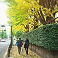 成城学園前のいちょう並木