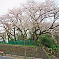 大蔵団地と桜